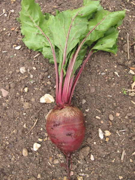 Beetroot Armenian