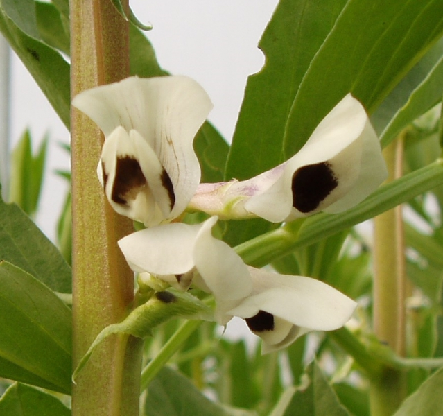 Broad Bean Seville (flower)