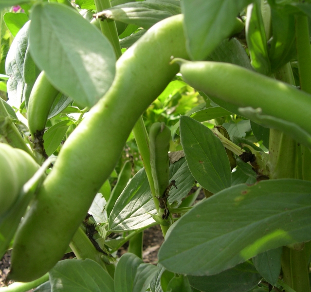 Broad bean Gloster Bounty