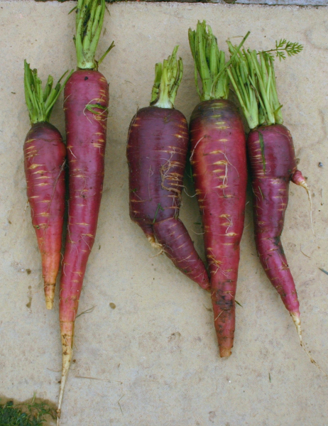 Carrot Afghan Purple trimmed roots