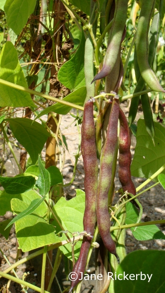 Climbing French Bean Cherokee Trail of Tears copyright Jane Rickerby