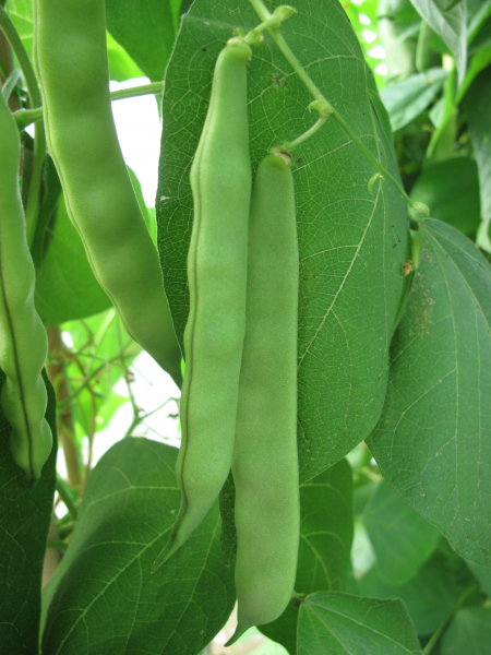 Climbing French bean Angel pods