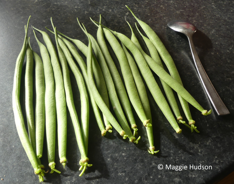Dwarf French Bean Emperor of Russia harvested pods copyright Maggie Hudson