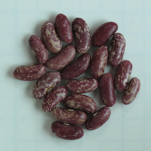 Dwarf French Bean Emperor of Russia (seeds)