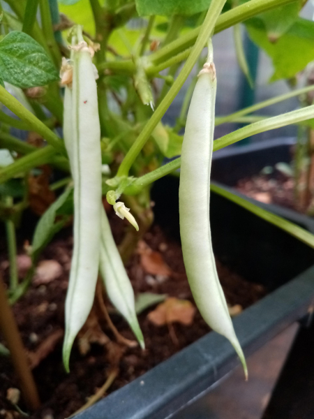 Dwarf French Bean Ice Crystal Wax pods on plant
