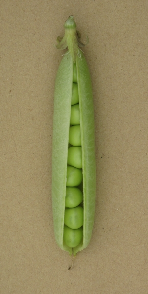 Pea Forty First (pod close up)