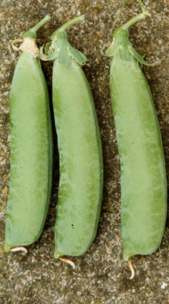 Pea Jeyes pods