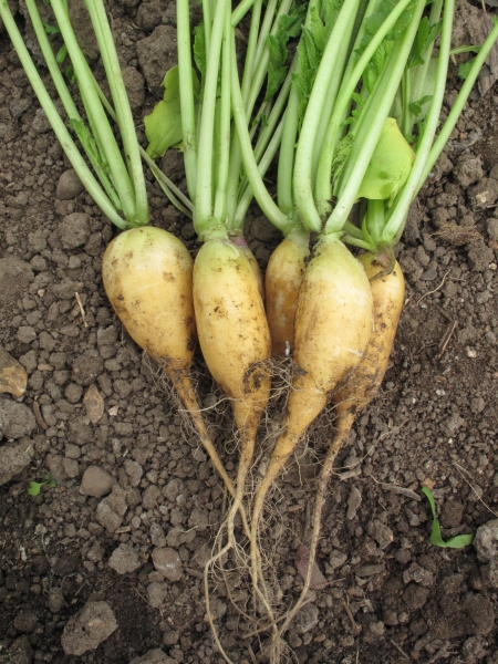 Radish French Golden