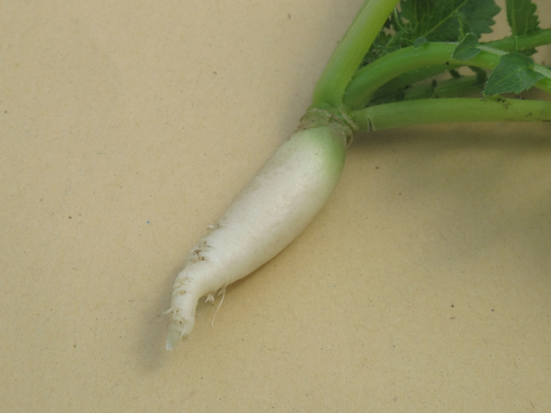 Radish Tientsin Green (single radish)