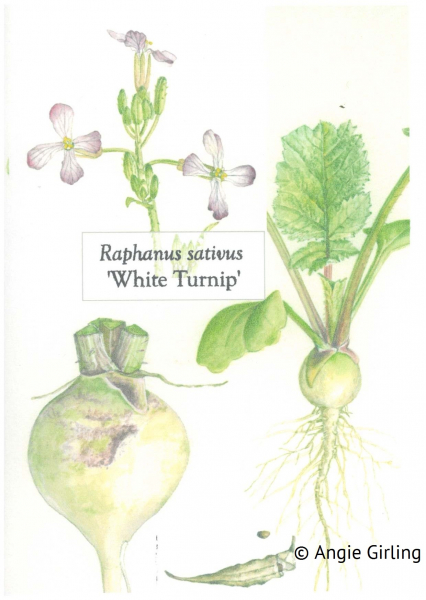 Radish White Turnip botanic illustration copyright Angie Girling
