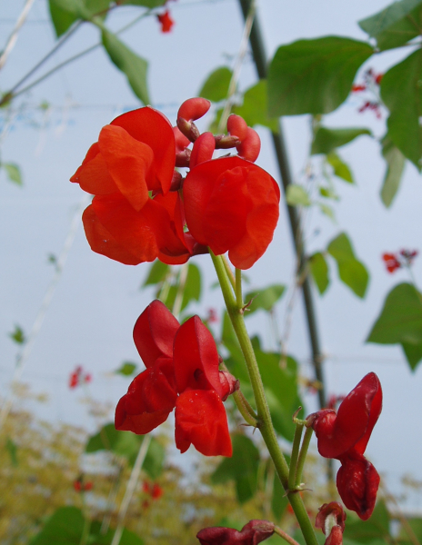 Runner bean Blackpod flower