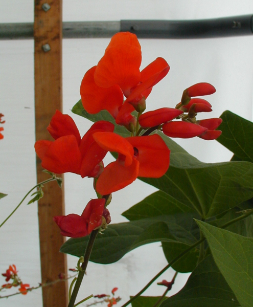 Runner bean Ernie Cooper's flower