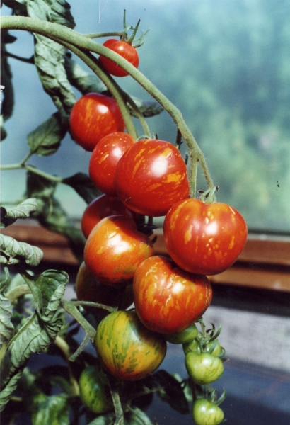 Tomato Darby Striped Red Yellow (truss)