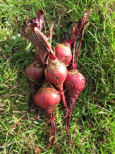 Beetroot Avon Early