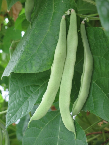 climbing French bean Alice Whitis Pink