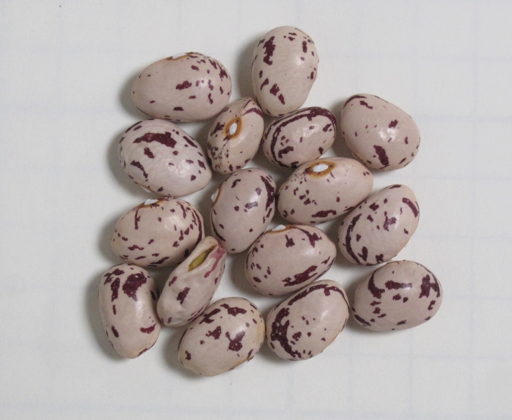Climbing French bean Bird's Egg (seeds)