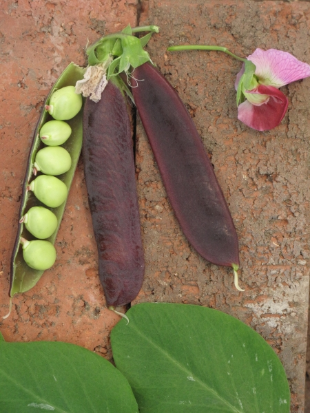 Pea Herbie's Purple Podded Bean Pea