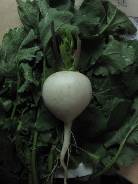 Radish White Turnip