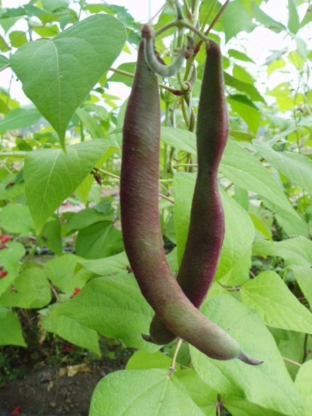 Runner Bean Blackpod