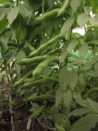 Broad Bean Drima