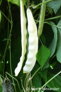 Climbing French bean Ray's Butter Bean