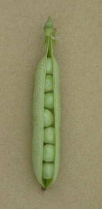 Pea Latvian harvested pod