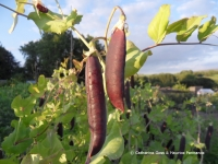 Pea Mr Bethell's Purple Podded (credit Catherine Goss & Maurice Pennance)
