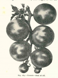 Tomato Best of All black and white image from Sutton's Catalogue