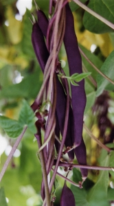 Climbing French Bean Blue Coco