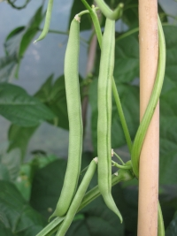 Climbing French Bean Cyprus